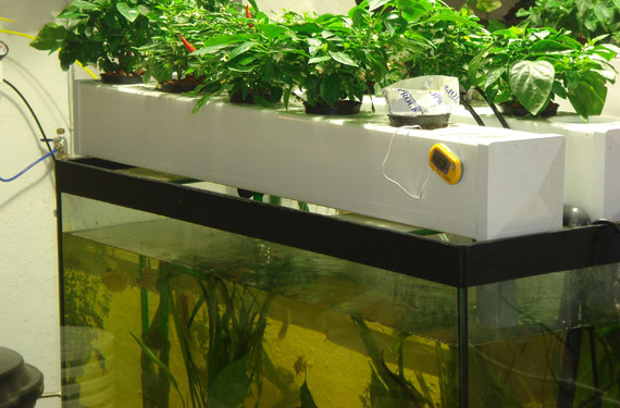 Cultivation of plants in water canna new zealand for Aquaponics fish for sale