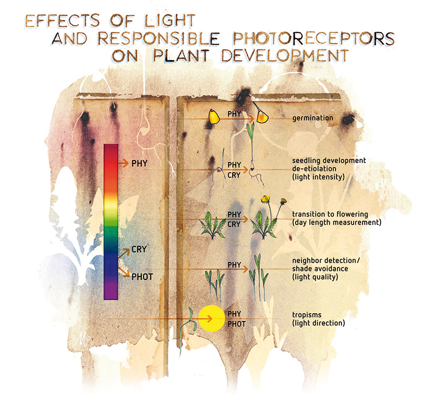 The effect of light spectrum on plant development